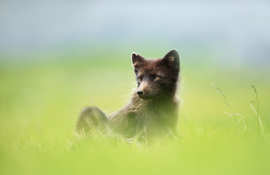 Arctic fox lying in Hornstrandir, Iceland